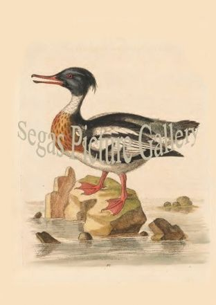 Goosander, Red-Breasted